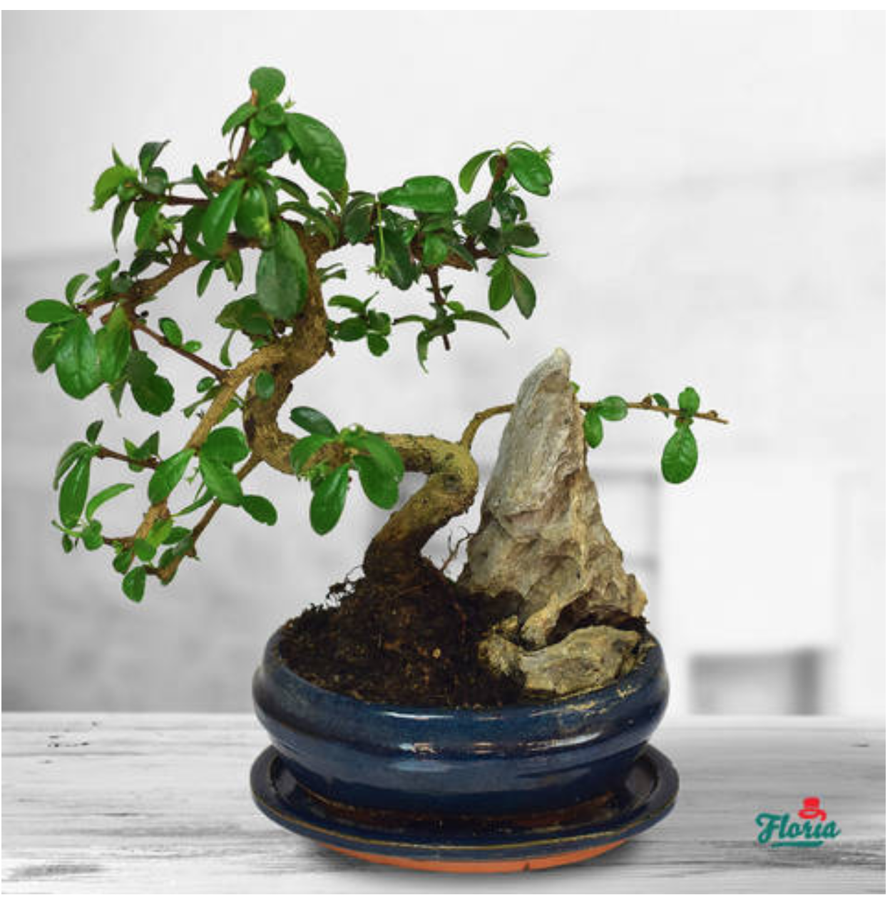 Bonsai - Plante de apartament
